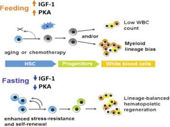 Imagen: Diagrama de flujo esquemático de los efectos del ayuno prolongado sobre el sistema inmunitario (Fotografía cortesía de la USC).