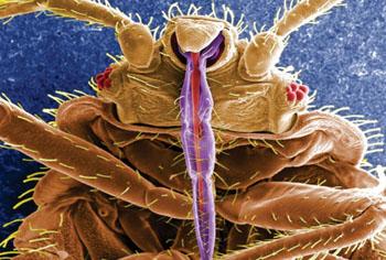 Imagen: La chinche común (Cimex lectularius) (Fotografía cortesía del CDC).